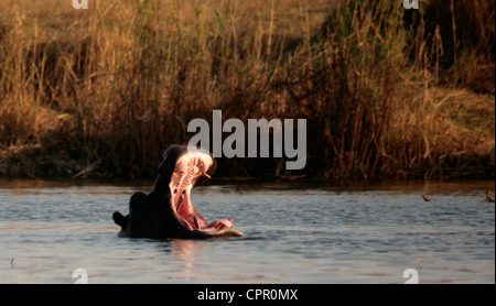 A yawning hippo, africa's most dangerous animal; in the Mahangu National Park - Stock Photo