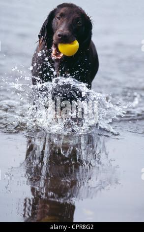 Irish Red Setter Dog Splashing in River with Ball - Stock Photo