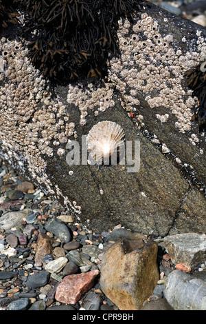 Common Limpets and Acorn Barnacles Tokavaig Isle of Skye Scotland