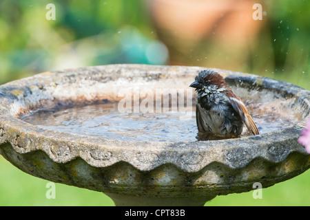 House sparrow in a birdbath washing. UK - Stock Photo