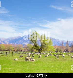 New Zealand sheep grazing on lush spring pasture in Canterbury, New Zealand. - Stock Photo