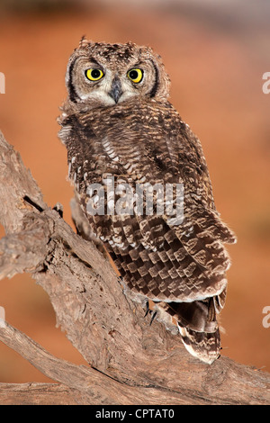 Spotted eagle-owl (Bubo africanus), Kgalagadi Transfrontier Park, South Africa - Stock Photo