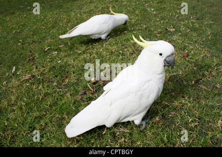 Two cockatoos in a Sydney park - Stock Photo