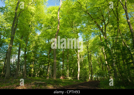 Beech woodland in Spring, Chilterns, Uk - Stock Photo