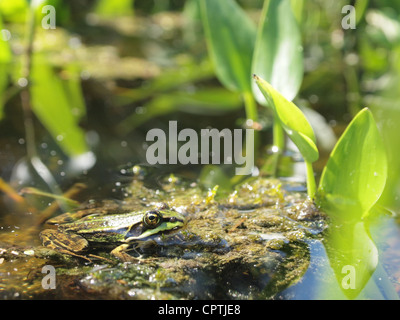 Green frog sitting in the water of a pond pelophylax ridibundus - Stock Photo