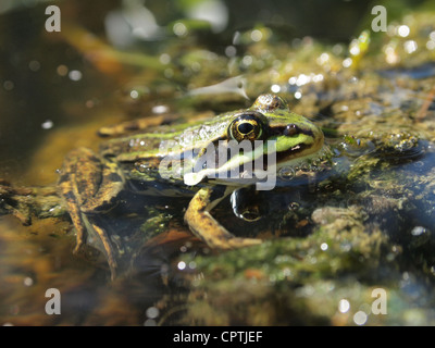 Green frog sitting in the water pelophylax ridibundus - Stock Photo