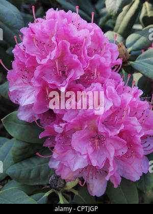 Close up of pink Rhododendron flower Bleskensgraaf, the Netherlands - Stock Photo