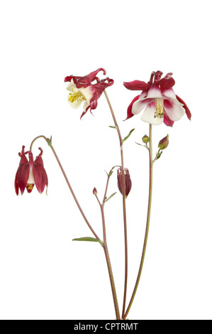 Dark red and white aquilegia flowers and buds isolated against white - Stock Photo