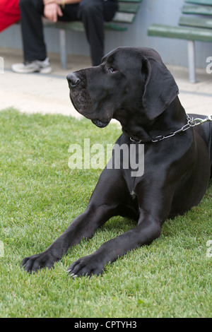 Big black german mastiff - Stock Photo