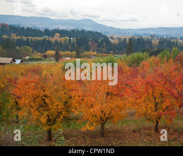 Oregon fruit orchard (Bartlett pear) in bright fall color with farm ridges of the Hood River Valley in the distance - Stock Photo