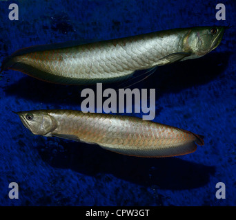 Two Silver Arowana freshwater bonytongue fish from the Amazon river in an aquarium - Stock Photo
