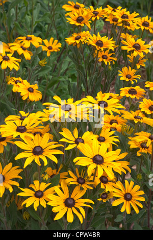 Vashon Island, WA: Cluster of cultivated coneflowers in a summer garden - Stock Photo