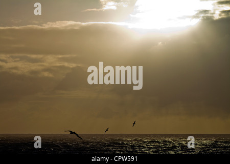 Three albatrosses silhouetted against a stormy sky, Scotia Sea, South Atlantic - Stock Photo
