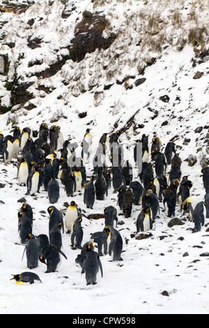 Moulting juvenile King Penguins, Fortuna Bay, South Georgia Island - Stock Photo