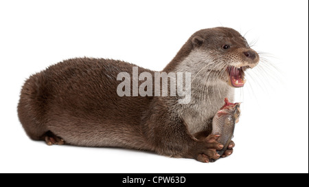 European Otter, Lutra lutra, 6 years old, eating fish against white background - Stock Photo