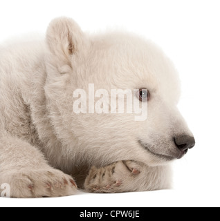 Polar bear cub,  Ursus maritimus, 3 months old against white background - Stock Photo