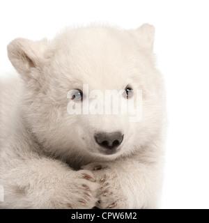 Polar bear cub,  Ursus maritimus, 3 months old, portrait against white background - Stock Photo