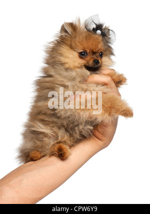 Spitz, 4 months old, held in hand against white background - Stock Photo
