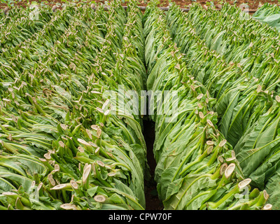 Rows of freshly cut green tobacco leaves are lined up drying outside in a field near Viñales, Cuba - Stock Photo