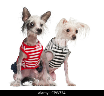 Chinese Crested Dog, 10 and 18 months old, sitting in striped vests against white background - Stock Photo