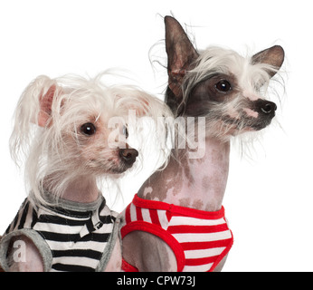 Chinese Crested Dog, 10 and 18 months old, in striped vests against white background - Stock Photo