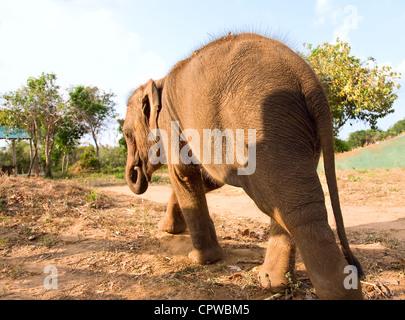 Baby Elephant walking in park, sri lanka - Stock Photo