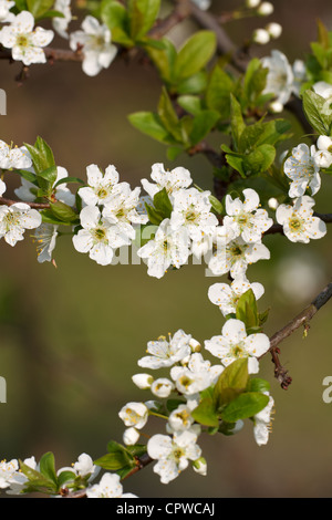 Spring greetings with peach blossoms stock photo 48501594 alamy spring greetings with peach blossoms spring greetings with peach blossoms stock photo m4hsunfo