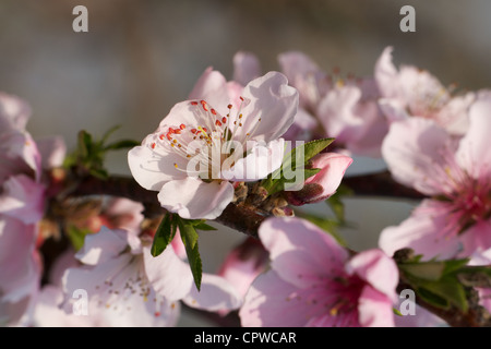 Spring greetings with peach blossoms stock photo 48501594 alamy peach blossoms over nature background spring greetings with peach blossoms stock photo m4hsunfo