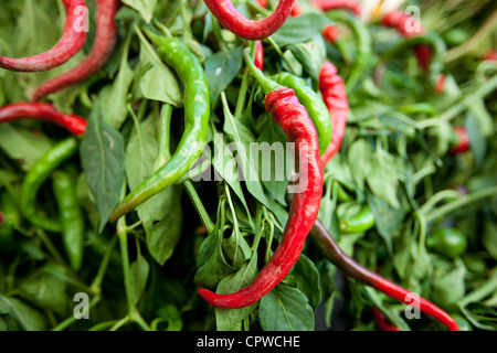 Red and green chili peppers, Capsicum pubescens, on sale in food market in Pienza, Tuscany, Italy - Stock Photo