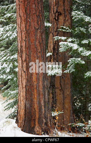 Emigrant Springs State Park, OR Two ponderosa pine (Pinus ponderosa) trunks among snowy pine branches in the Blue - Stock Photo