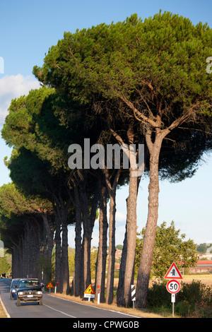 Umbrella pine trees at Sovicille near Siena in Tuscany, Italy - Stock Photo