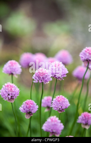 Chives growing on an allotment, England, UK - Stock Photo