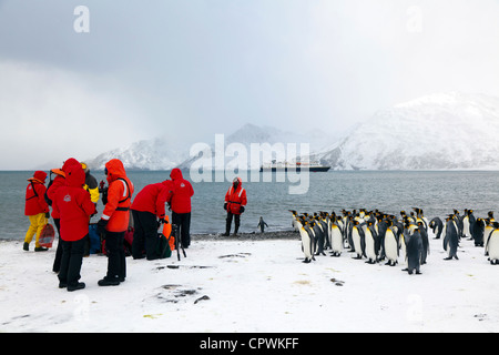 Curious King Penguins greet expedition ship passengers as they land on shore at St Andrew's Bay, South Georgia ISland - Stock Photo