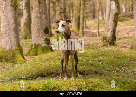 Whippet (Canis lupus familiaris) facing photographer in woodland scene - Stock Photo
