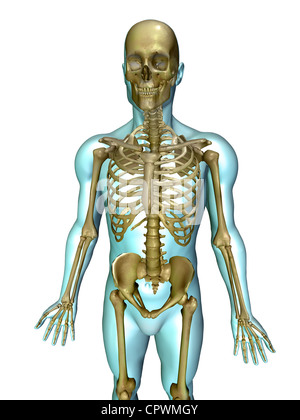 anatomical illustration of the human body showing the major organ, Skeleton