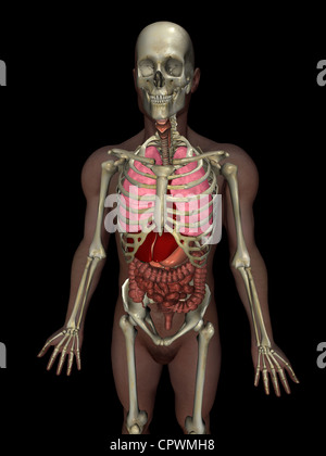 Anatomical illustration of the human body showing the major organ anatomical illustration of the human body showing the major organs stock photo ccuart Gallery
