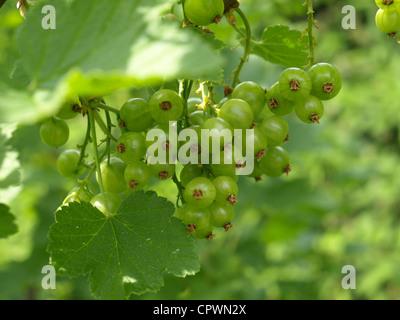unripe red currant in spring / ribes rubrum / unreife rote Johannisbeeren im Frühling - Stock Photo