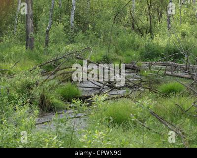 highmoor, hill moor, continental raised bag / Arracher Hochmoor / Bavarian Forest, Bavaria, Germany - Stock Photo