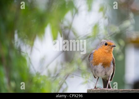 Robin perched on a garden trellis in an english garden - Stock Photo