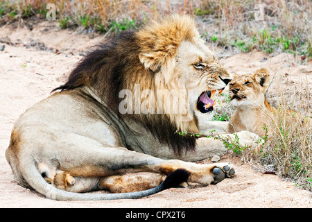 Lion and cub, kruger national park, south africa - Stock Photo