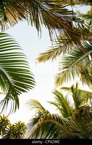 Palm trees, low angle - Stock Photo