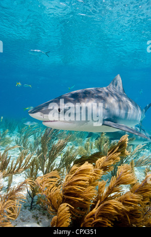 Tiger shark on the prowl - Stock Photo