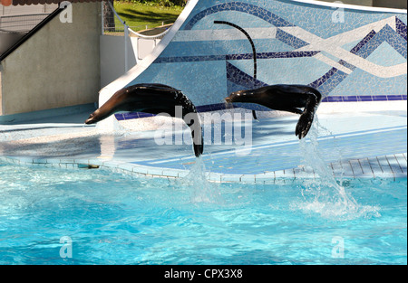Two Sea Lion Jumping Above a blue Zoo Pool - Stock Photo