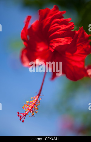 Hibiscus, Siquijor, The Visayas, Philippines - Stock Photo