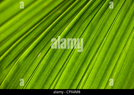 leaf detail, Siquijor, The Visayas, Philippines - Stock Photo