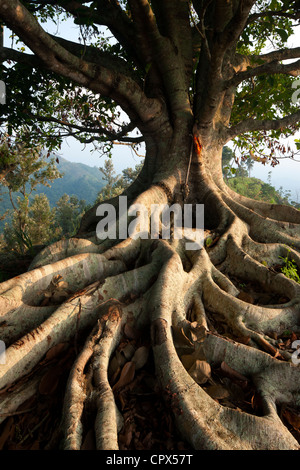 a tree with roots in the hills above Ella, Southern Highlands, Sri Lanka - Stock Photo