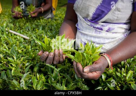 tea pluckers on the Pedro Estate, Nuwara Eliya, Southern Highlands, Sri Lanka - Stock Photo