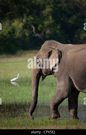 Large White Egret and elephant in Wilpattu National Park, Sri Lanka - Stock Photo