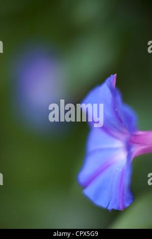 morning glory, Sri Lanka - Stock Photo