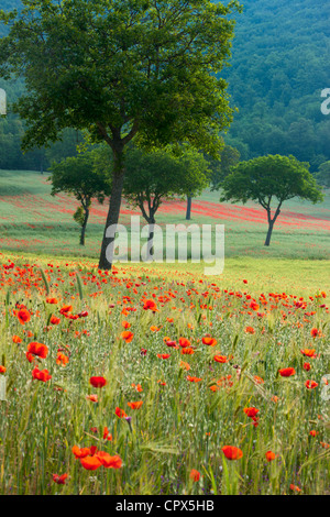 poppies in a field, nr Norcia, Umbria, Italy - Stock Photo
